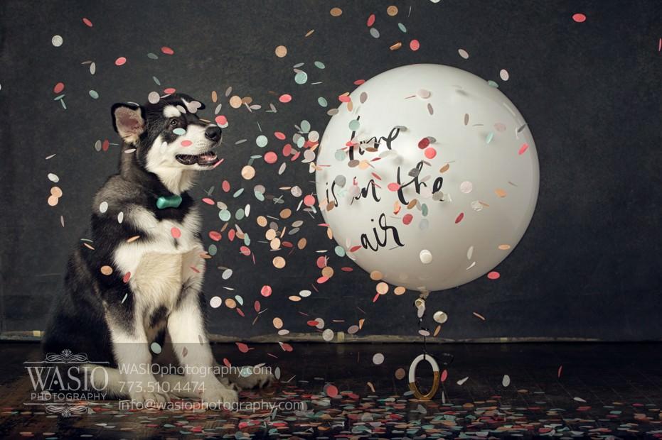 The Cutest Alaskan Malamute Puppy Session